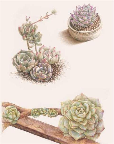 彩铅花卉手绘图片多肉