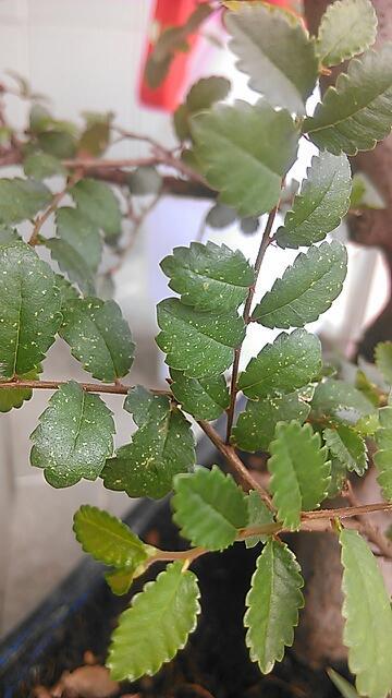 榆树叶子有些叶子长斑点