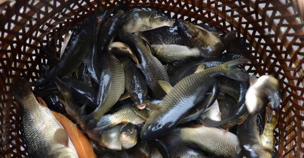 舌尖上的中国之湖南靖州苗家侗乡美味腌鱼禾花鱼来了