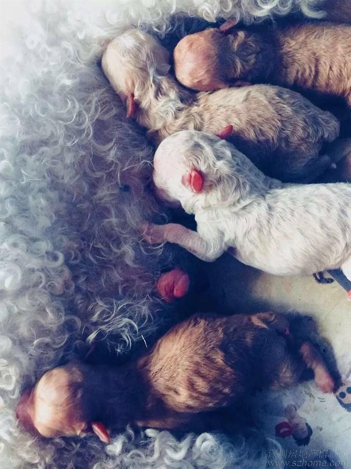 昨晚刚出生的比熊和小贵宾生的宝宝萌照