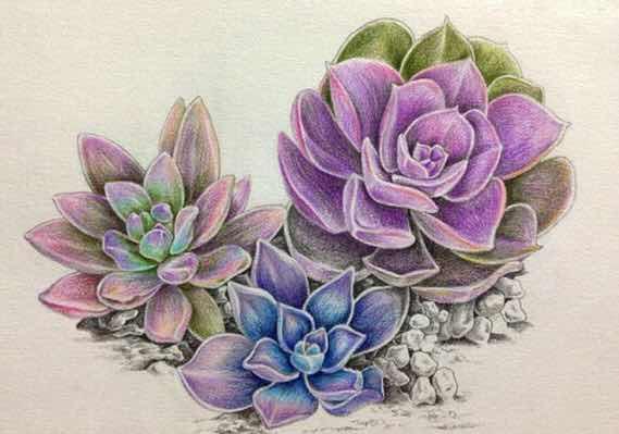 彩铅手绘多肉植物欣赏