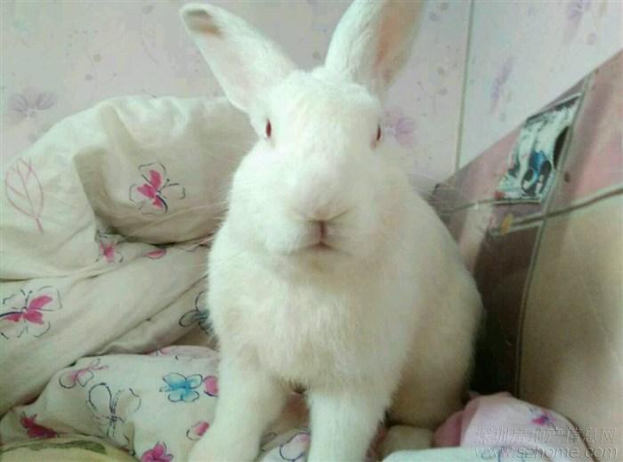 免费送可爱大白兔了,谁愿意收养