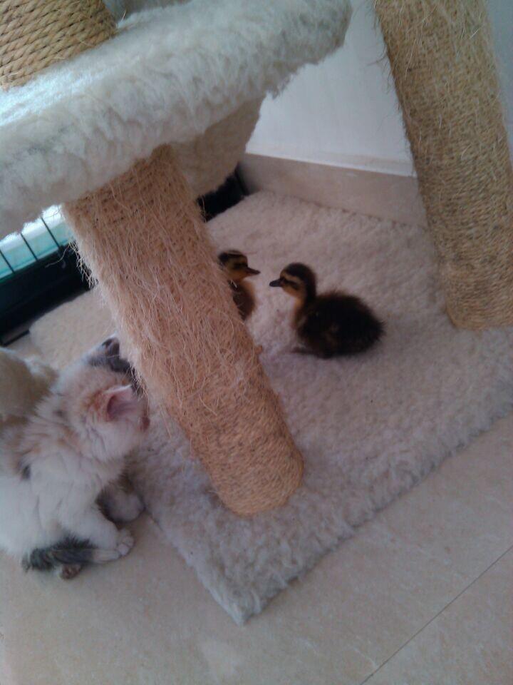 第一次养小鸭子