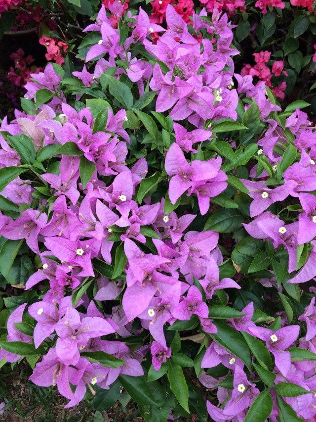手机壁纸紫色莲花