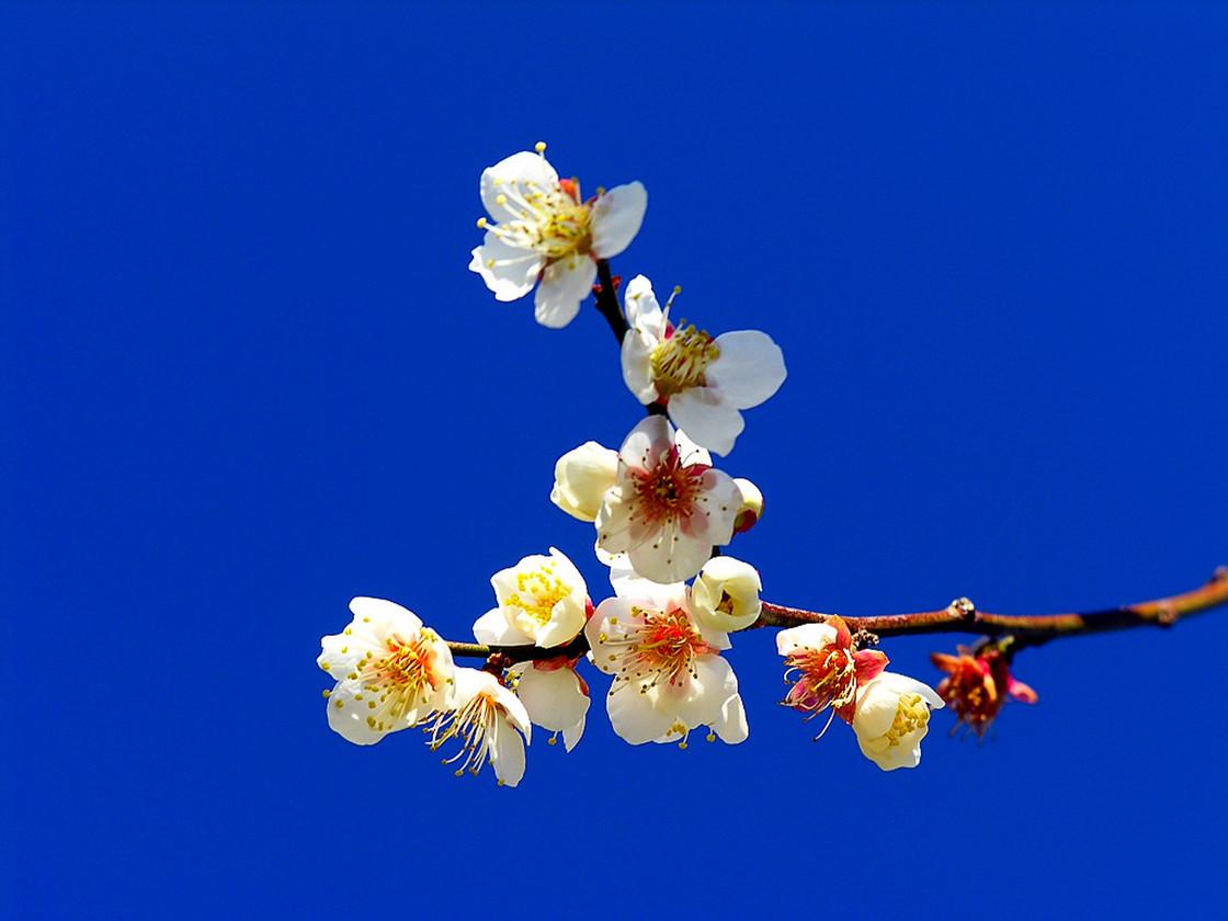 (每周三,六,日)惠东御景峰国家森林公园梅花节,吃农家菜品青梅酒