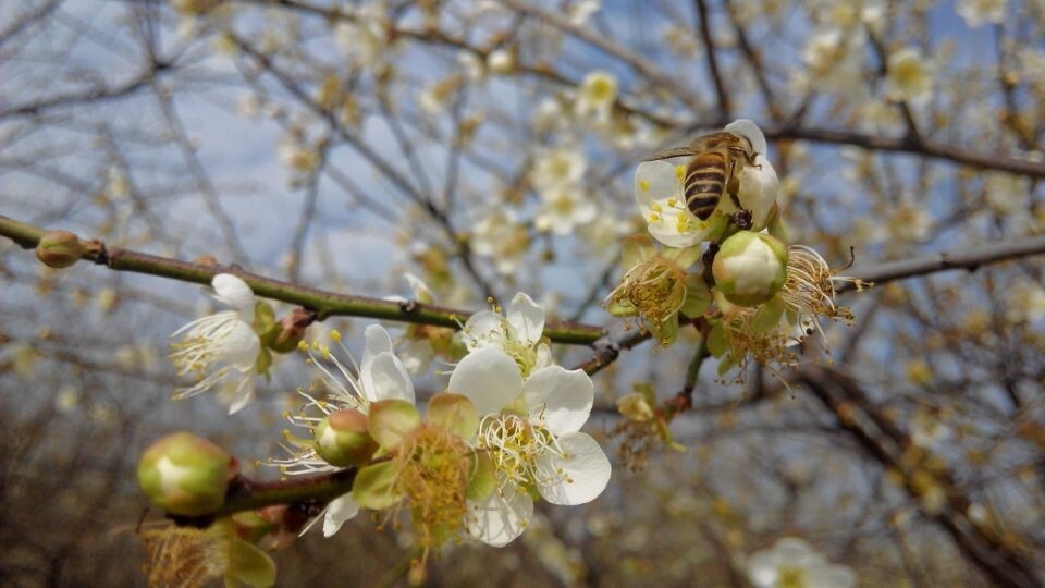 (每周三,六,日)惠东御景峰国家森林公园梅花节,吃农家