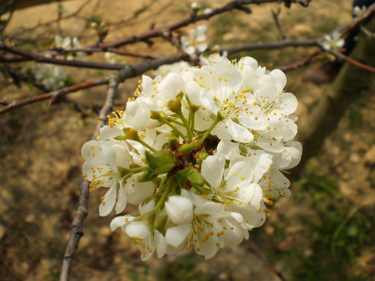 而區分白色桃花和梅花也很容易