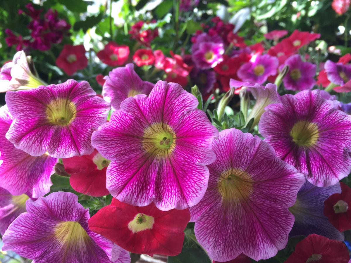 Résultat d'images pour Jolis bouquets de roses trémières