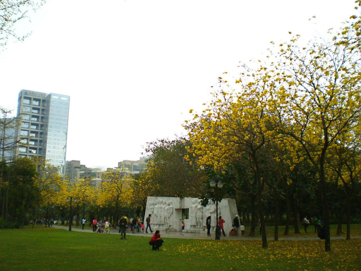 3月深圳黄色花海(海滨油菜花,摩天大楼下的巴西国花