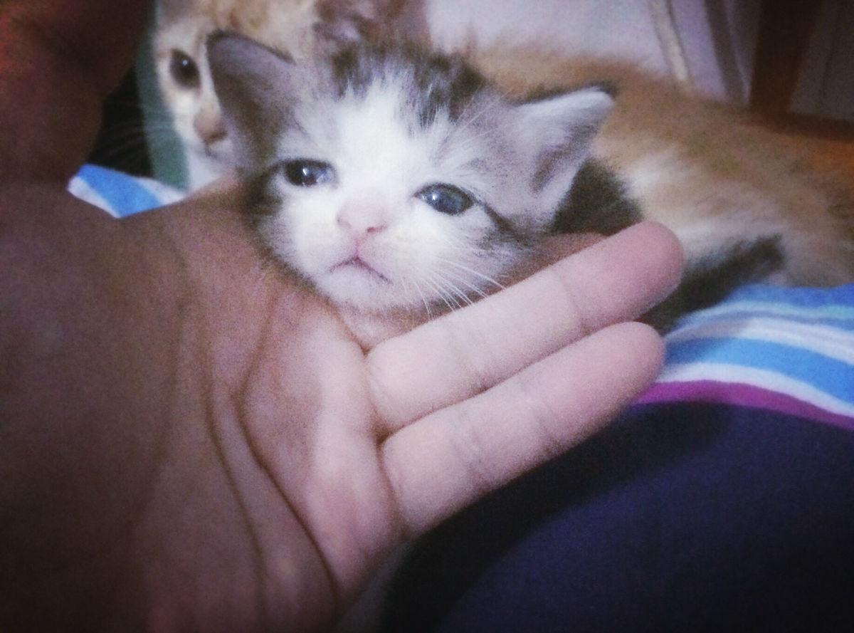 求养美短小猫