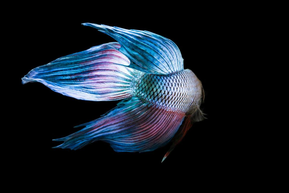 动物铅笔画 手绘斗鱼