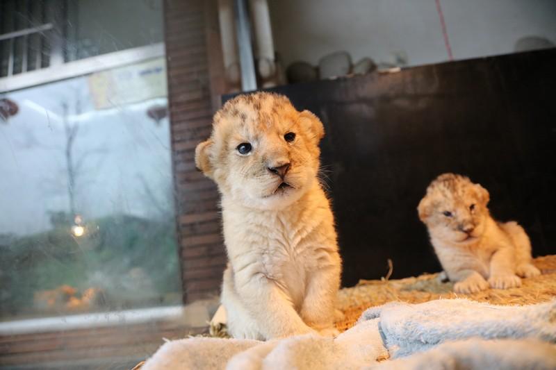 新年到,新年好,上海野生动物园的动物们来拜年啦!