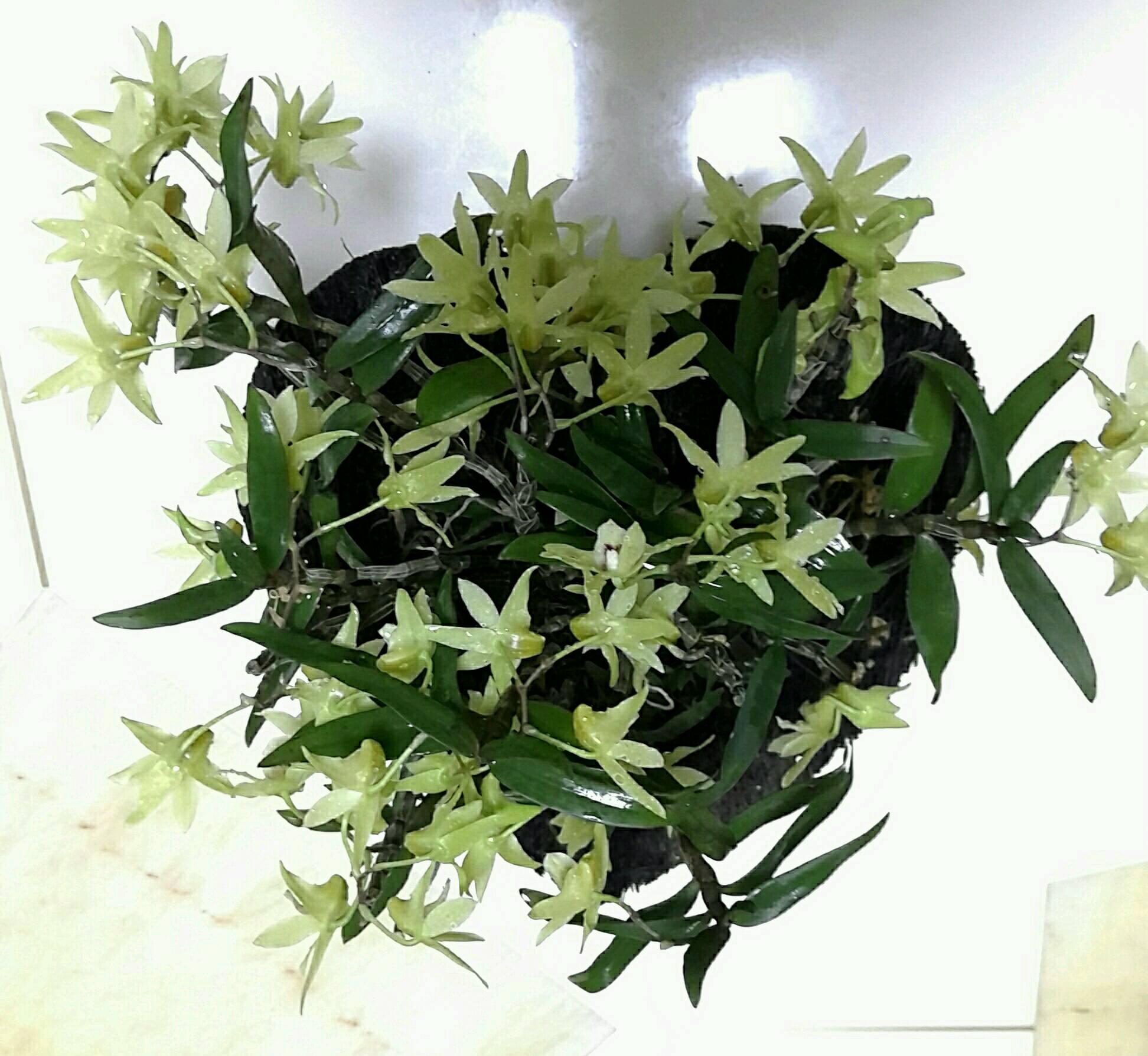 我就发个自制爱心蛇木板花盆栽的铁皮石斛花儿帮他